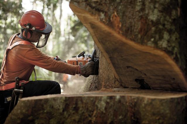 Extração de madeira na Floresta Nacional do Jamari, em Rondônia (Foto: Amata/Divulgação)