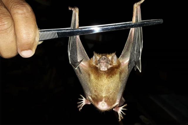 ataques de morcegos