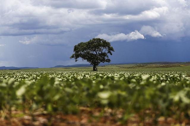 árvore - Alto Paraíso (GO)