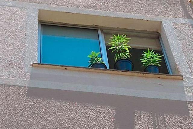 Plantação de Maconha na janela