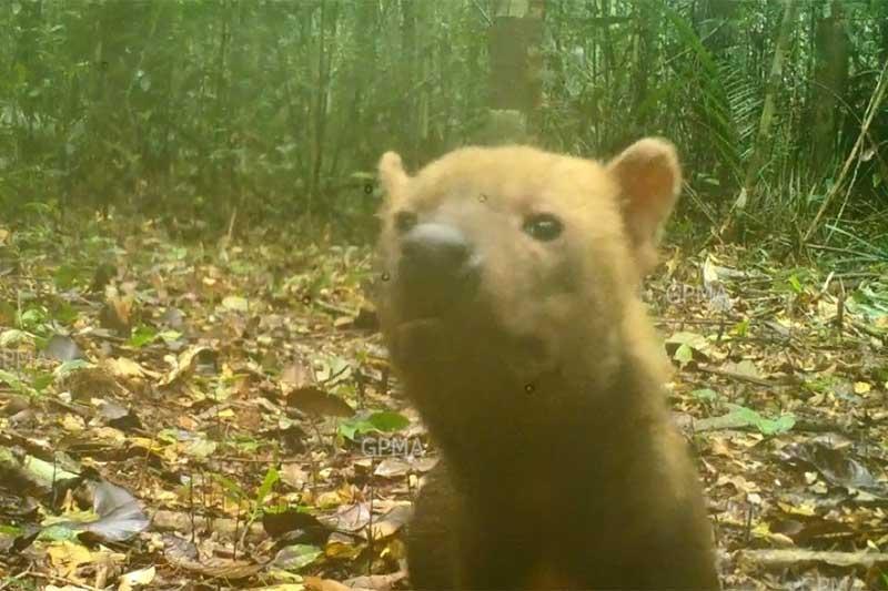 Cachorro-vinagre está ameaçado de extinção Foto Dayse Ferreira-Inpa