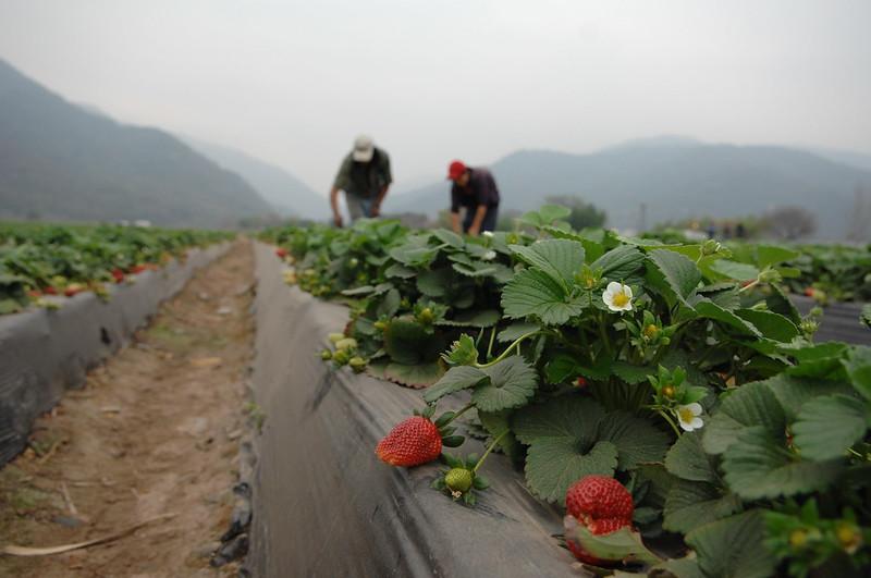 Agricultura morango