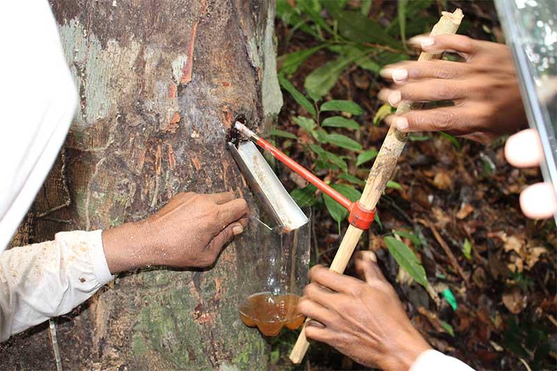 Extração da Copaíba (Foto: Idesam/Divulgação)