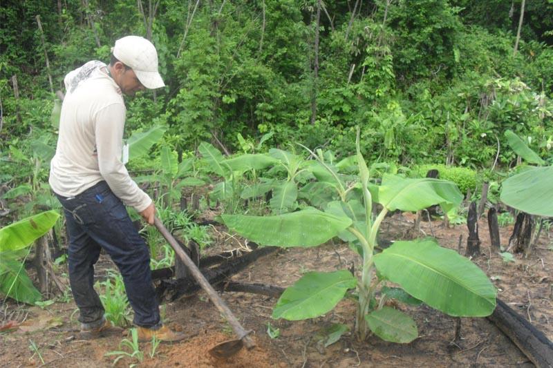 praga da banana produtor