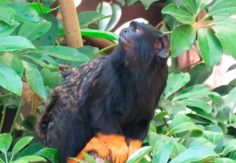 Macaco sauim-de-mãos-douradas muda som de grito, revela estudo (Foto: YouTube/Reprodução)