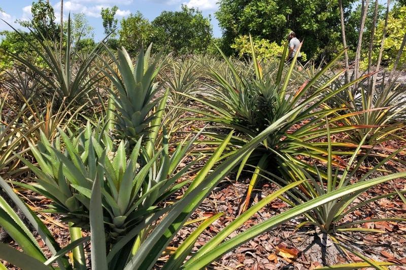O abacaxi está entre os produtos com maior destaque nacional (Foto: Murilo Rodrigues/ATUAL)