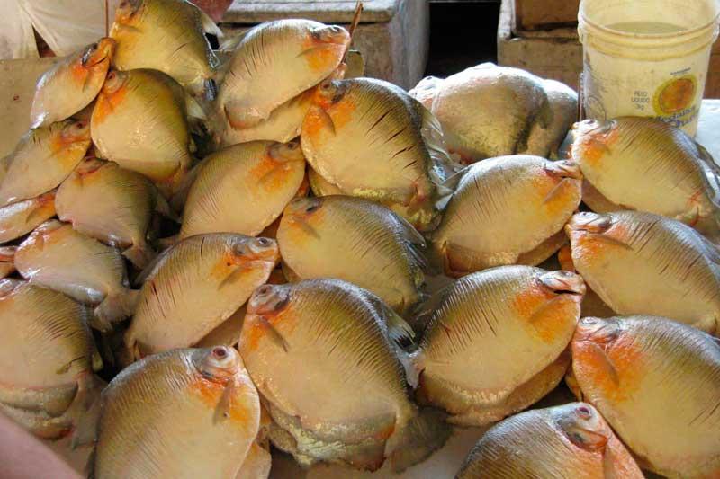 Pacu peixe da Amazônia